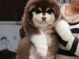高品质阿拉斯加雪橇犬 巨型大骨架 养殖场直销 疫苗做齐保健康