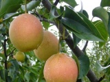 特价批发梨树苗 嫁接黄梨苗 新品种果树苗木 南方北方种植 包成活