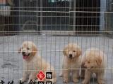 美系金毛犬,英系金毛犬,质保三年,支持送货上门