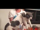纯家养英短蓝猫蓝白弟弟妹妹都有低价找靠谱新家
