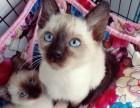 蓝眼精灵纯种暹罗猫黑脸包活