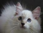 CFA血统布偶猫蓝双、山猫布偶猫出售