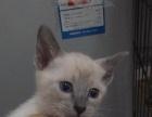 自家繁殖暹罗猫寻求爱心人士 价格合适即可