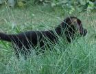 德国牧羊犬 德牧价格 德牧多少钱 德牧图片 德牧犬领养转让