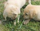 家养一窝纯种拉布拉多可以签协议 来家里看狗父母