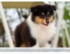 高品质苏木幼犬出售 保证健康纯种 喜欢的抓紧来吧