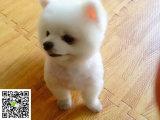 在哪里买纯种的博美幼犬 博美幼犬最低多少钱