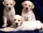 重庆出售拉布拉多价格重庆哪里出售纯种拉布拉多重庆卖拉布拉多犬