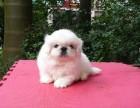 台州哪有京巴犬卖 台州京巴犬价格 台州京巴犬多少钱