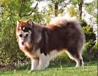 CKU认证犬舍 阿拉斯加 保障健康 终生售后