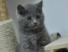 今天下单包邮 英国短毛猫蓝猫纯蓝英短活体纯种宠物