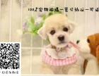 雪纳瑞幼犬 最贵的雪纳瑞多少钱