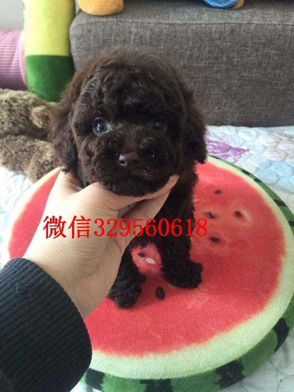 广州哪里有卖纯种贵宾犬 家养的贵宾犬哪里有卖多少钱