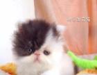 纯种加菲猫宝宝找新家