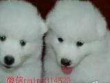 出售自家繁育纯种萨摩耶宝宝 可爱微笑天使萨摩耶幼犬