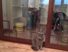 英短蓝猫借配价格500合理可议价,公猫性格好,不伤母猫