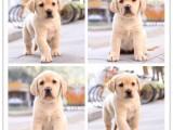 南京專業犬舍-純種健康-終身售后