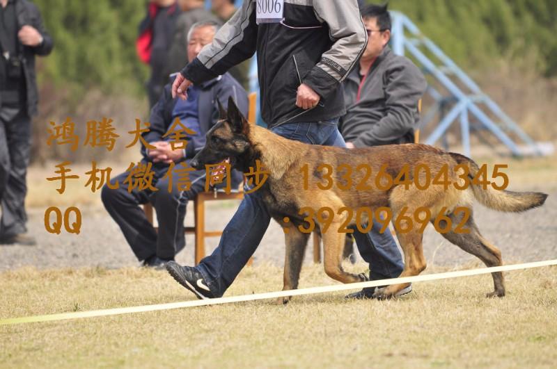 珠海哪里有卖马犬价钱多少珠海纯种马犬幼犬价钱多少珠海马犬狗场