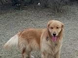 两岁大金毛犬