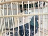 赛鸽,信鸽协会比赛专用鸽