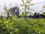 2018青脆李树苗李子种植技术