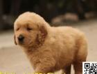 家养纯种金毛幼犬导盲犬金毛巡回猎犬包健康可上门来