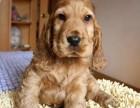 惠州哪有可卡犬卖 惠州可卡犬价格 惠州可卡犬多少钱