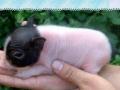 草莓采摘+生态鹅蛋+宠物香猪
