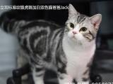美短美国短毛猫 银虎斑加白起司猫种公 杰克提供配种借配服务