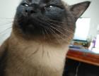出售暹罗美眉 找爱猫人士 无论疾病 不离不弃