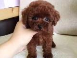 本地犬舍直销 纯种泰迪幼犬 颜色齐全 健康品质