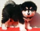 深圳出售纯种阿拉斯加包犬瘟细小包健康三个月有问题包退换