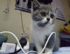 个人宠物猫诚心出售!中介勿扰