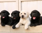 云南拉布拉多云南买狗的地方 云南哪里买狗最健康