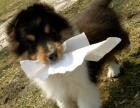 家養繁殖 純種喜樂蒂 寵物狗狗 疫苗齊包品質健康