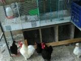 自家散养观赏鸽,元宝鸡