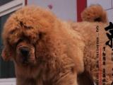 鞍山市京润犬舍繁殖可来基地看狗出售超可爱的红色藏獒网