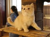 貓舍出售純種健康波斯貓可上門挑選全國發貨