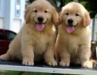 上海认证宠物领养中心 金毛犬赠送 宠物领养