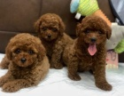北京出售 泰迪幼犬 纯种健康保障 疫苗驱虫已做 签协议