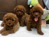 成都出售 純種泰迪幼犬 疫苗齊全出售中 可簽協議健康保障