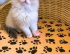 哈尔滨宠物 哈尔滨哪里的布偶猫较便宜 纯种布偶猫一般卖多少钱