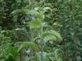 供应1--80公分以上大量供苹果苗 枣树