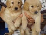 高品质金毛幼犬出售 疫苗驱虫已做 保证血统健康