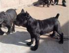 本地卡斯罗幼犬繁殖基地 多只精品宝宝可选