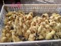 长期出售优质鸡鸭鹅苗免费传授科学养殖技术