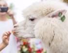 上海杨浦区小羊驼出租-小矮马租赁-小香猪转租-生日派对庆典