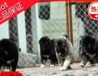 顶级精品原生态精品高加索幼犬 质保低价出售 签协议