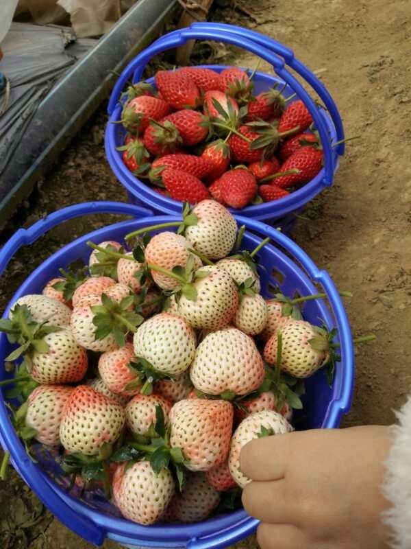 牛奶草莓熟啦!欢迎朋友们到草莓园采摘游玩,玉溪市红塔区