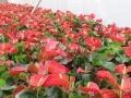 花卉出租绿化养护